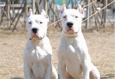 杜高犬修耳要多少钱?成年杜高犬修耳要怎么修?
