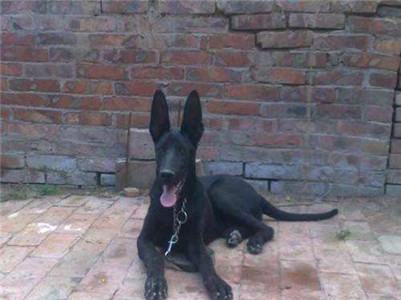 中华黑狼犬可以狩猎吗?中华黑狼犬凶不凶猛?